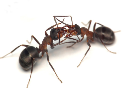 Ant Pests London Hertfordshire