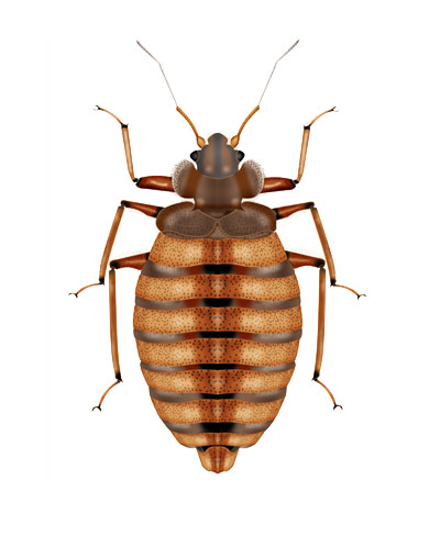 Bed Bug Pests London and Hertfordshire