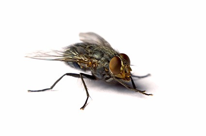 Fly Pests London Hertfordshire