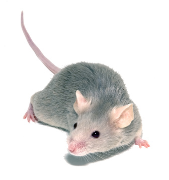 Rat Pests London Hertfordshire