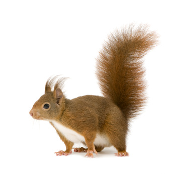 Squirrel Pests London Hertfordshire